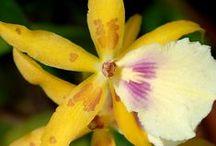 Orquideas / BELLAS Y EXOTICAS