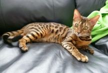 """Bengal my cats  """"Cattery One in a Million"""" www.cattery-oneinamillion.nl / My bengal cats <3"""