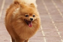 Pomeranians <3 / All about Poms <3 / by Missy Hill