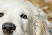 ♥ GOLDEN RETRIEVER - LABRADOR