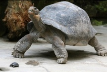 Turtles and Tortoises / by Heather Brown