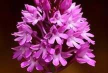 Wilde orchideeën | #wild #orchids / Wilde orchids