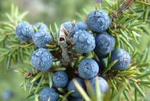 Gin Botanicals / The various botanicals found in Gin