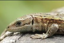 Lizard like / hagedis achtigen / Lizards in its color and its form