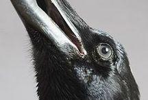 Crow like / Kraai achtigen / Crows and crow like birds