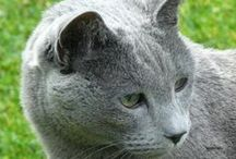 Polmora Russian Blue Cats  / Own bred from cattery de Polmora 2000 - 2011