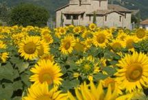 MY SUNFLOWER GARDEN / Sunflowers...another favorite of mine / by theresa duncan