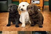 Labs ❤️ / Beautiful labradors and other dogs
