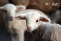 all things sheep / little lambs, big sheep and the Good Shepherd who lays down His life for them all