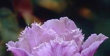 Flowers/Tulips