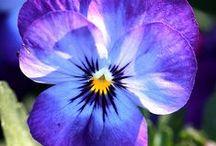 Flowers/Pansies