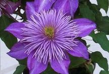 Flowers/Clematis