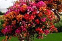 Flowers Bougainvillea