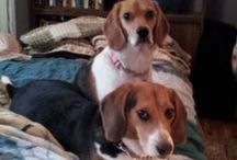 Beagles / by Ancient Ladye