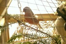 Canaries and Aviaries / Canaries and Aviaries in Our House