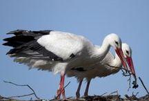 Stork / Аисты