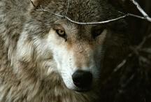 Lupi / Sendo adunque uno principe necessitato sapere bene usare la bestia, debbe di quelle pigliare la golpe e il lione, perché il lione non si difende da' lacci, la golpe non si difende da' lupi. Bisogna adunque essere golpe a conoscere e lacci e lione a sbigottire e lupi.  (Niccolò Machiavelli)  (golpe = volpe)