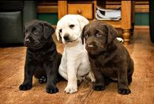 I LOVE Labradors / Labrador Retrievers have a warm place in my heart. We have a 5 year old black lab named Sage - our first family dog. Love being a dog owner!  / by CoFi Leathers