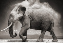 Elephants  / They're wise, friendly, emotional, and magnificent. My favorite animal. / by Mandy Carlson