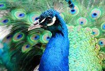 living peacock