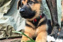 German  / francais = Berger Allemand <3 English =  German Shepherd <3