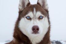 Husky  / Siberian Husky  Husky de Sibérie