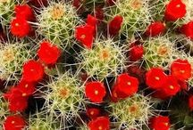CACTUS AND SUCCULECTS and Tropical Cactus / THE HOW TO DO ABOUT CACTI AND SUCCULENTS / by Gloria O'Lear