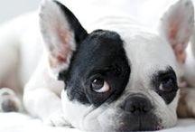 TL Bulldog / We Love French & English Bulldog