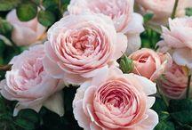 Roses~ / Pastel rosessss
