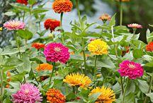 Floricelele Țărăncuței urbana