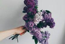 : Lilacs :