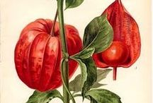 Art - Botanical Prints