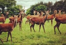 Life on a Deer Farm  / A little look into life on the deer farm...