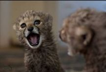 Baby Cheetahs / The cutest baby animal that exists.
