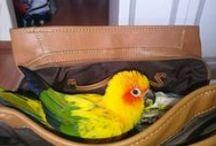 Conour fever / Conour parrots