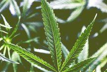 Mary Jane  / Weed, Cannabis, Marjiuana, hemp, Herb, Hasj, Dab, Kief let's smoke.