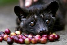 Cibetkova káva   Kopi Luwak   Civet Coffee / Slovo kopi znamená v indonésštině kávu a luwak je místní název cibetkovité šelmy, česky ovíječ skvrnitý. Ta požírá celé plody kávovníku, z nichž stráví pouze dužinu a zrnka vyloučí spolu s výkaly. Enzym proteáza v trávicím traktu zvířete způsobí, že kávová zrnka získají jemnější, méně hořkou chuť. Kopi Luwak patří k nejdražším druhům kávy: ročně se vyprodukuje na světě pouze okolo pěti set kilogramů.  Cibetková káva pochází původně z Filipín, nyní se produkuje v několika oblastech Indonésie.