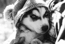 Husky / I love huskies!