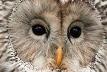Wise Owl / Most owls are nocturnal, actively hunting their prey only in darkness. Several types of owl, however, are crepuscular—active during the twilight hours of dawn and dusk; e.g. the Pygmy owl (Glaucidium). A few owls are active during the day also; e.g. the Burrowing Owl (Speotyto cunicularia) & the Short-eared Owl (Asio flammeus). There are some 220 to 225 extant species of owls, subdivided into 2 families: typical owls (Strigidae) & barn-owls (Tytonidae). (Source: Wikipedia) / by Roziey H.