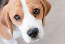 Beagles / by Karen Stanton-Gentry