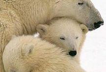 Polar Bears are Beautiful