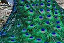 Peacocks and other brilliant birds / I love the peacock image and anything iridescent; as pinning progressed, other birds needed a place to live and this board was a pretty good place. / by Karen Tiede Art Rugs