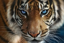 "Tigers / It's a whole ""eye of the tiger,"" stay strong, kind of metaphor. / by Jennifer Kane"