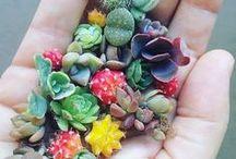 Succulents**Stonecrops**Sedums