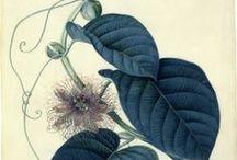 atlas rostlin / staré atlasy - obrázky