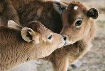 cow stuff / by Joyce Dowtin