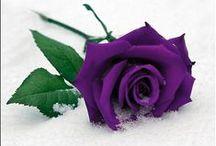 Beautifull roses <3