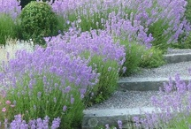 Lavender / The scent of summer.