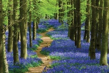 Bluebells / Is there anything more beautiful than a bluebell wood?
