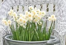 Narcissi / The gorgeous yellowness of the garden is just what we need to lift our spirits in early spring. The best bit - all this loveliness is only the prelude to the garden show!
